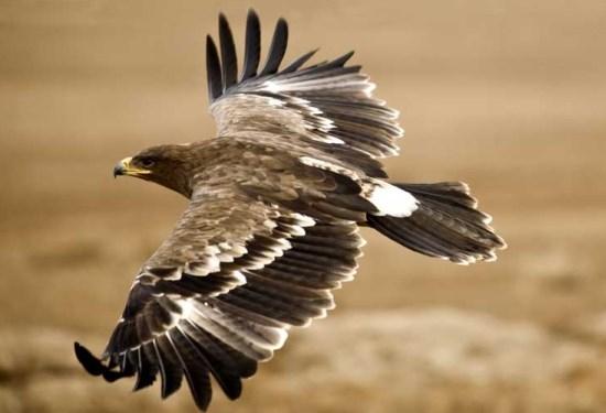 Aguila imperial iberica