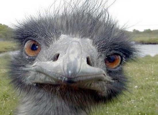 Avestruz en peligro