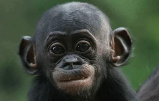 Bonobo en peligro