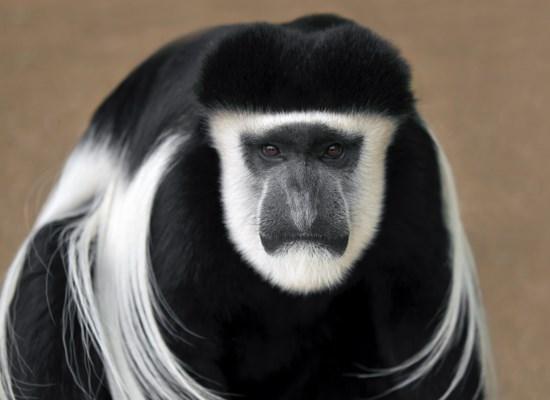 Mono colobo en extincion