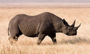 Rinoceronte negro extincion