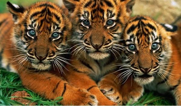 Tigre en extinción