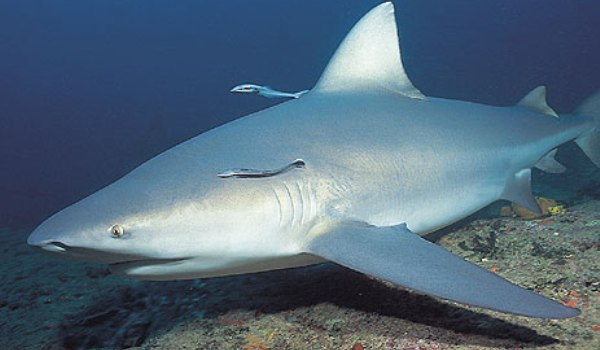 Tiburon del Ganges