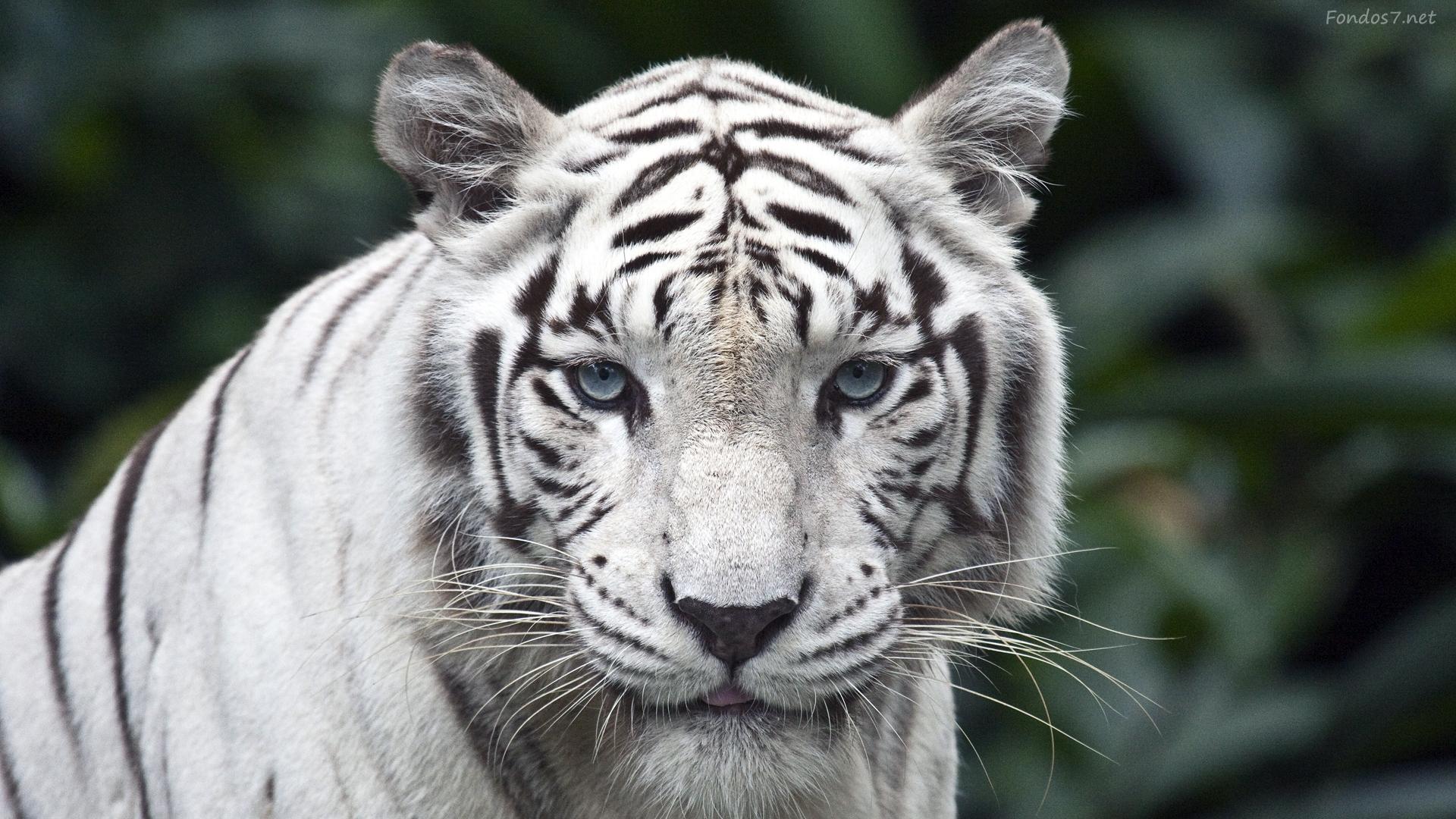 tigres-blanco-26167