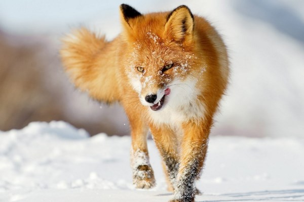 Zorro rojo comun en peligro de extincion