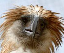 Águila Filipina