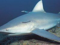 Tiburón del Ganges