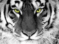 Tigre de bengala y tigre blanco