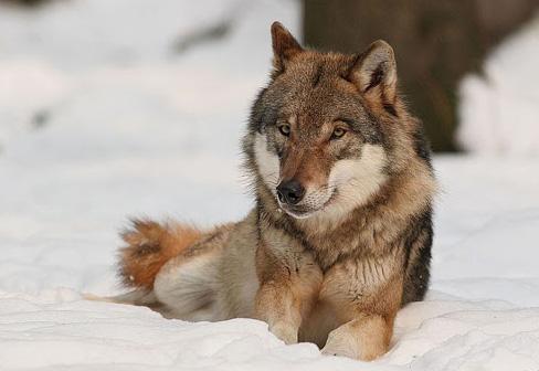El lobo rojo en peligro ¡salvémoslo!