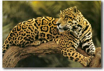 El jaguar una especie casi amenazada