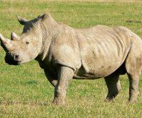 Salvemos al rinoceronte