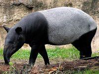 Salvemos al tapir