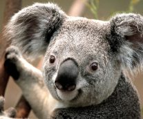 El koala en peligro de extinción ¡Salvémoslo!