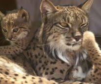 El lince ibérico en peligro crítico de extinción
