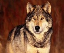 El lobo rojo en peligro crítico
