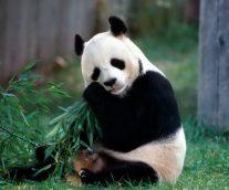 El oso panda en peligro crítico de extinción
