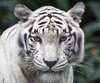 El majestuoso tigre blanco en peligro critico de extinción