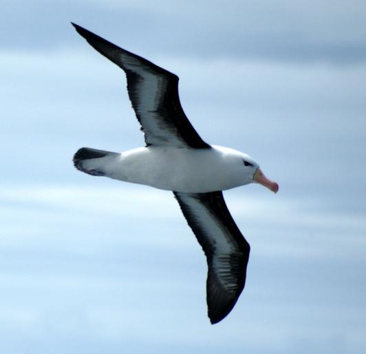 El albatros en peligro de extinción ¡salvémoslos!