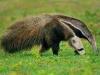 Los osos hormigueros