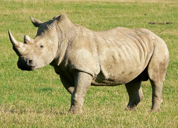 Rinoceronte de Java