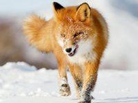 El zorro rojo común