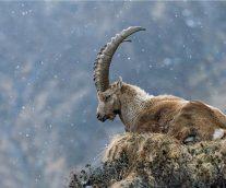 El Bucardo, la primera cabra montés ibérica