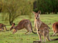 El Calor, peligro inminente para el Canguro Australiano