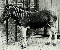 Cuaga, una especie extinta que busca renacer