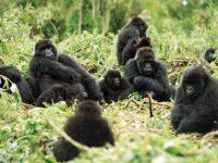 La deforestación, principal enemigo del Gorila Africano