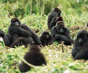 Gorila Africano portada