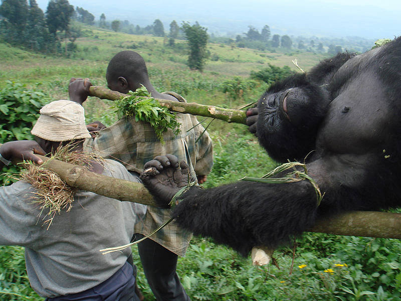 Gorilas Africanos extinción