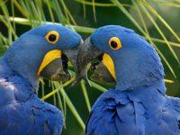 Guacamayo Glauco, el ave más hermosa tristemente extinta