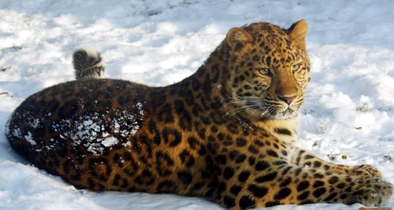 El Leopardo de Amur, perseguido por su valiosa piel