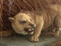 Leopardo de Zanzíbar, un felino que no pudo perdurar en el tiempo