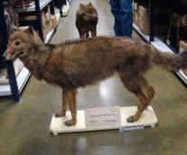 Lobo Malvinense, un depredador extinto por la llegada del hombre