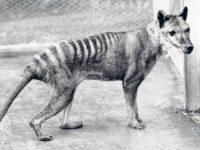 Lobo Marsupial, una especie injustamente exterminada
