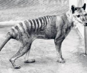 Lobo marsupial portada