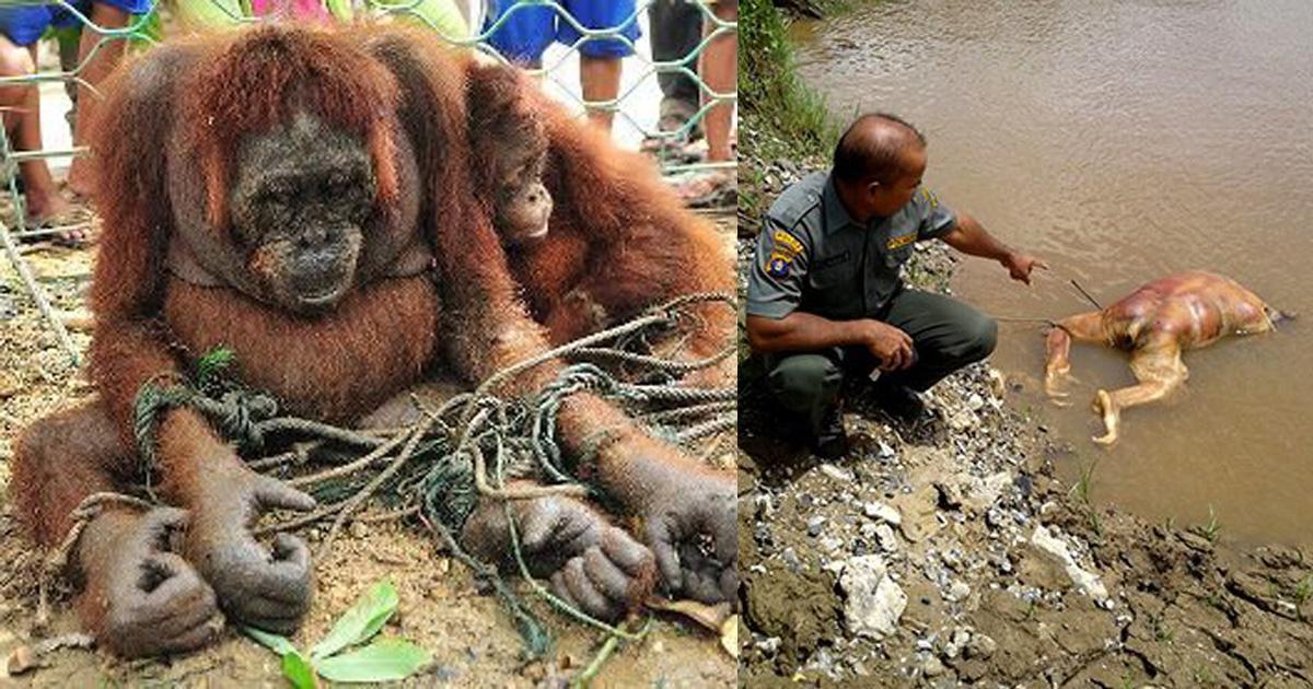 Orangutanes 2
