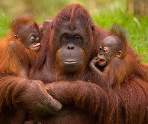 Orangutanes portada