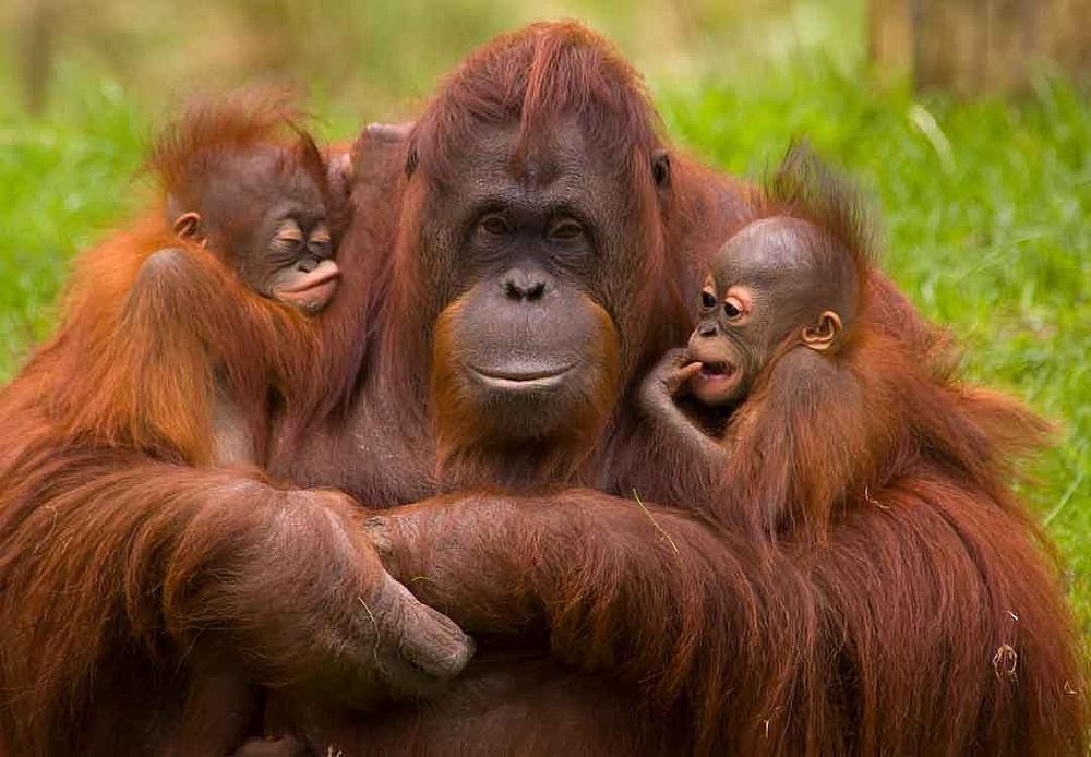 Orangutanes, especie amenazada por el hombre