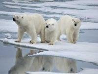 El Oso Polar, majestuosidad ártica en peligro de extinción