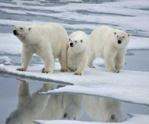 Oso Polar portada