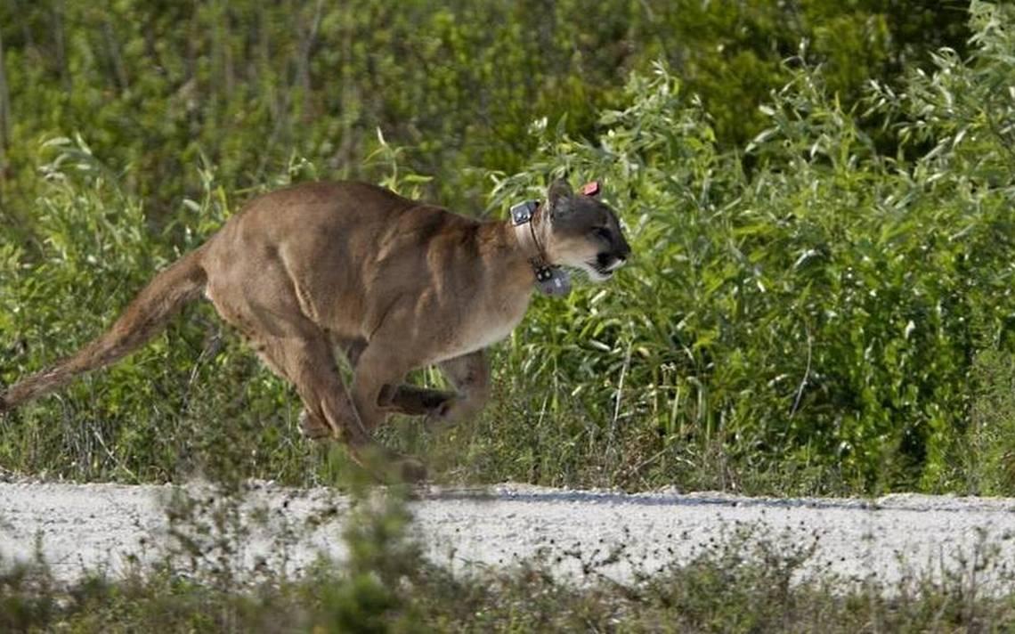 Pantera de la Florida, un felino que podría desaparecer muy pronto