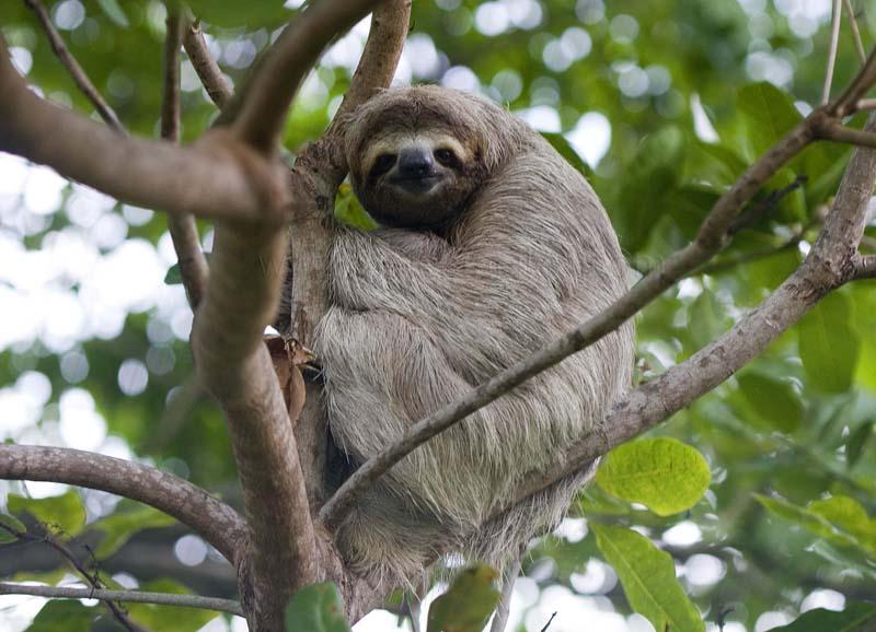 El Perezoso Pigmeo, azotado por la destrucción de su hábitat