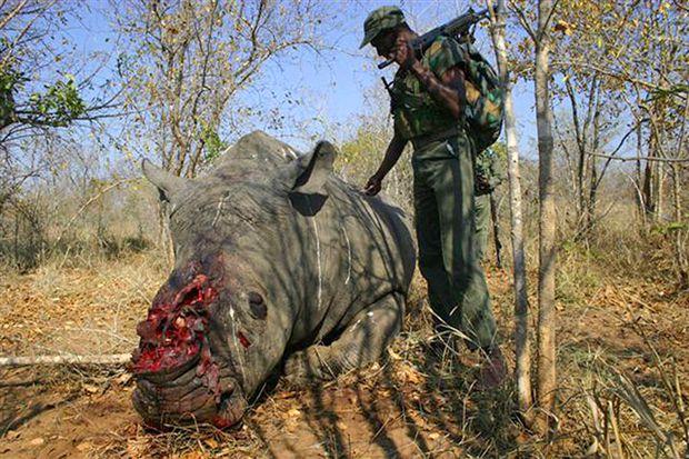 Rinoceronte Negro cuerno