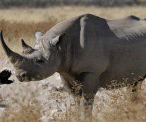 El Rinoceronte Negro Occidental, una extinción decretada por la caza furtiva