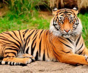 Tigre de Bengala portada
