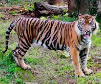 El Tigre de Java, el felino con más rayas