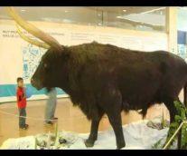 El Uro, el bovino europeo cazado hasta su extinción