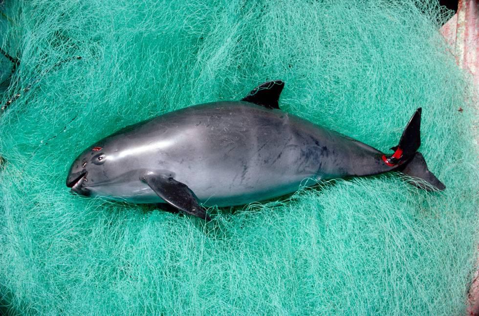 Vaquita Marina en peligro
